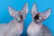 Продажа котят и подрощенных животных.