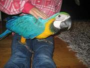 gдома,  поднятые и зарегистрирован синих и золотых попугаи ара для прод