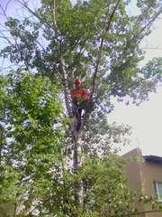 Кронирование и валка деревьев