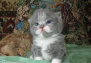 Продам котёнка породы Селкирк рекс